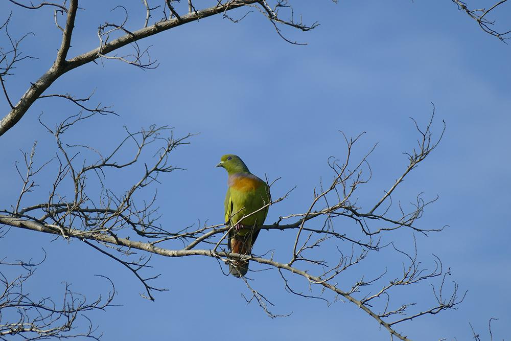 A pigeon in Uduwalawe
