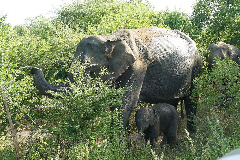 female elephants roam in groups in Uduwalawe