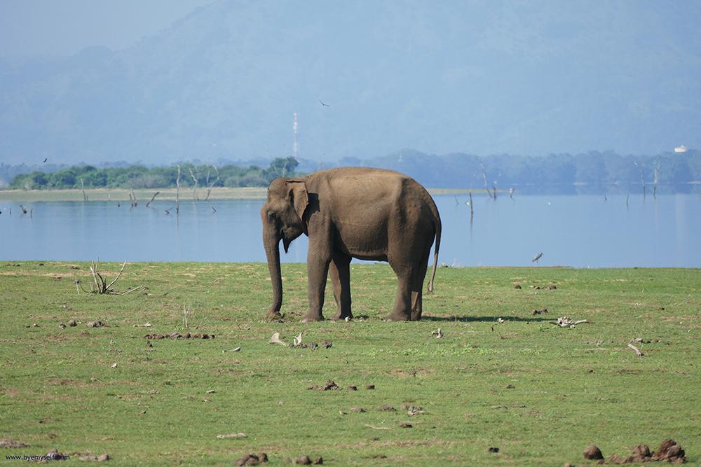 Elephant in Uduwalawe