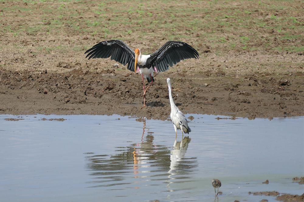 Waterbird at Uduwalawe