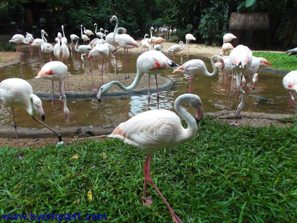 Flamingos at the bird park in Foz do Iguacu.