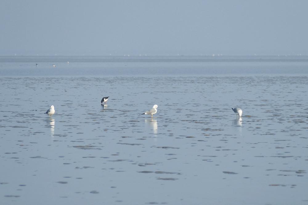 Birds on the Wadden Sea off Föhr