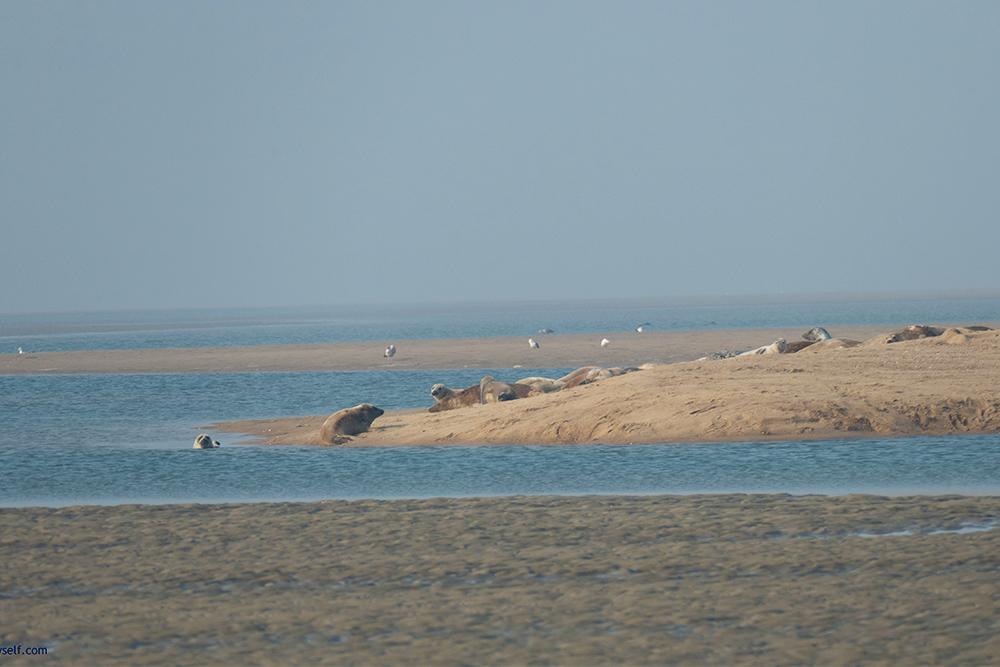 Seals on a sandbar off Foehr