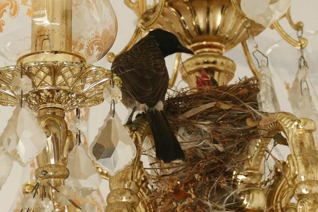 A bulbul and its nest in a Chandelier in Galle - Guide to the Highlights