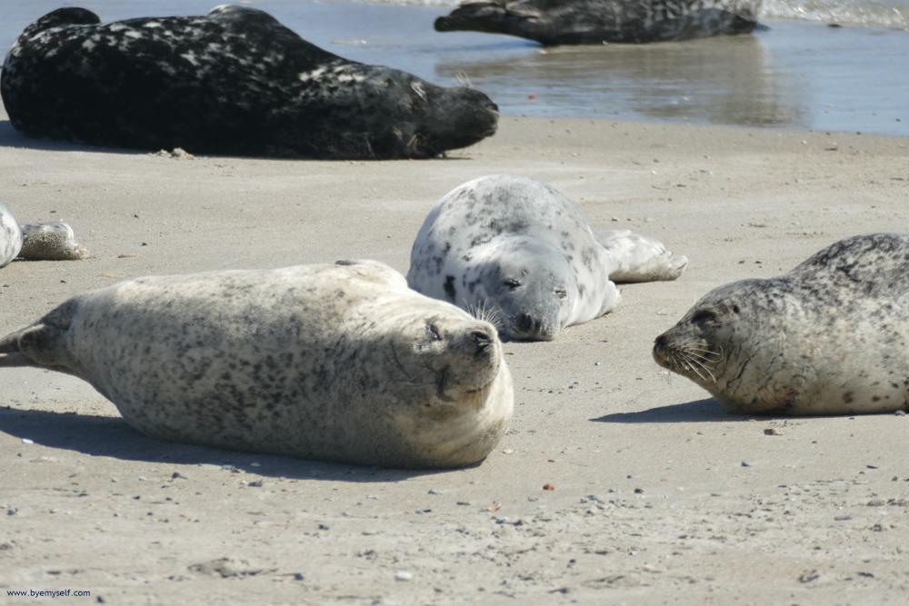 Gray Seals on the island of Düne