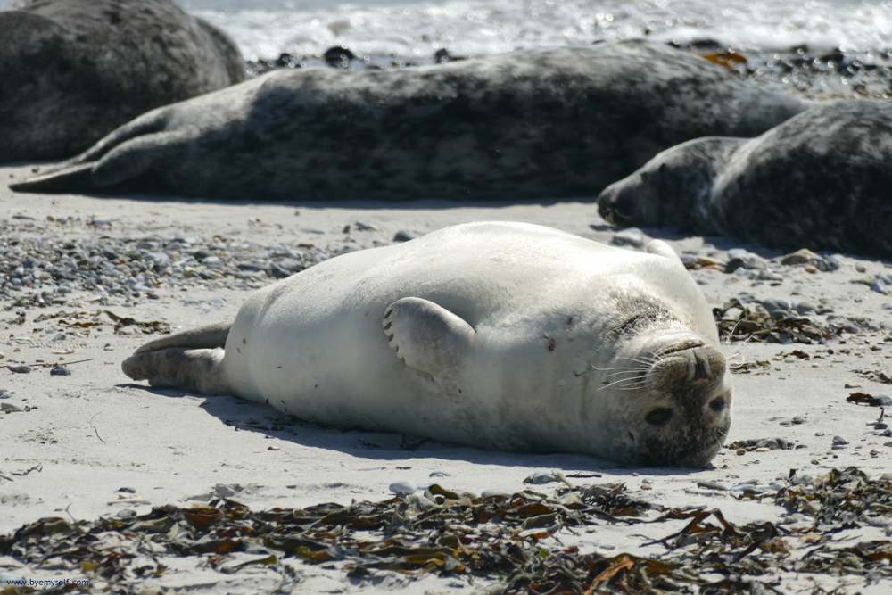 Gray Seal on the Island of Helgoland