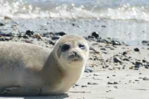 Gray Seal on the island of Helgoland in Germany