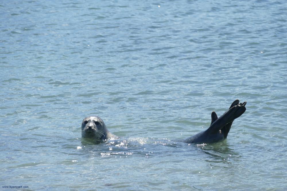 Gray Seal swimming at the island of Düne