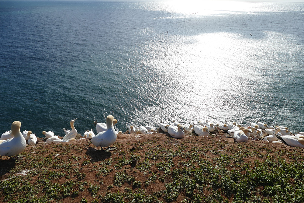 Colonies of gannets above the north sea.