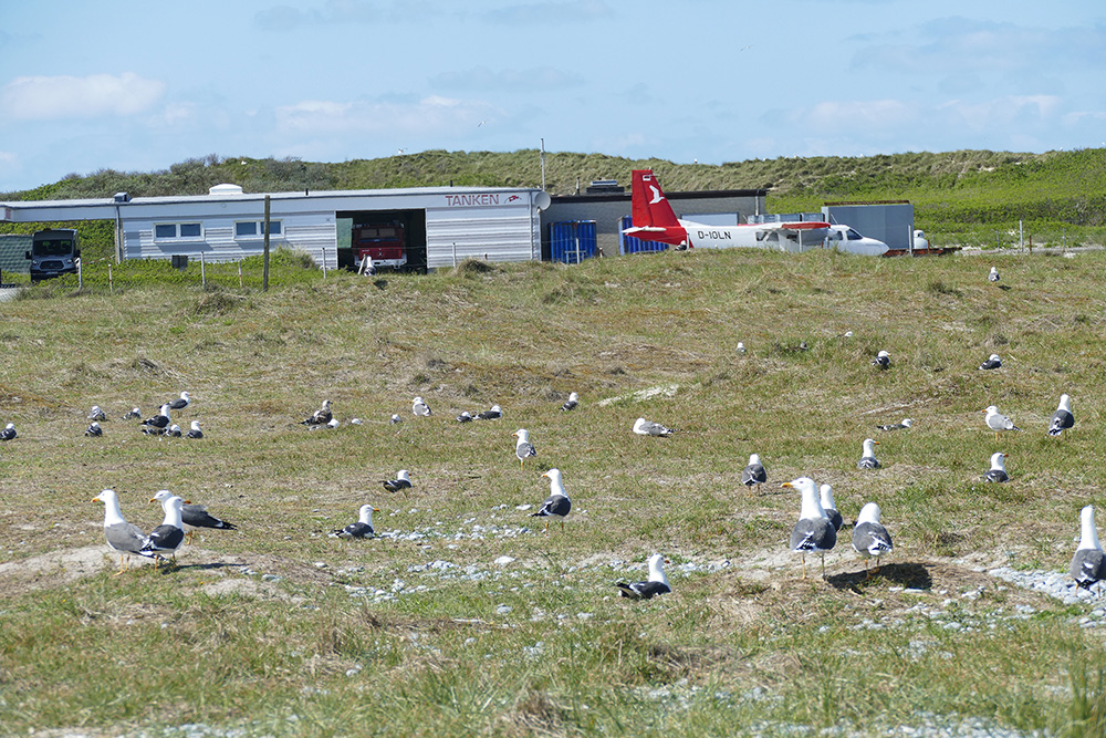 Birds at the airport of the island of Düne, serving Heligoland