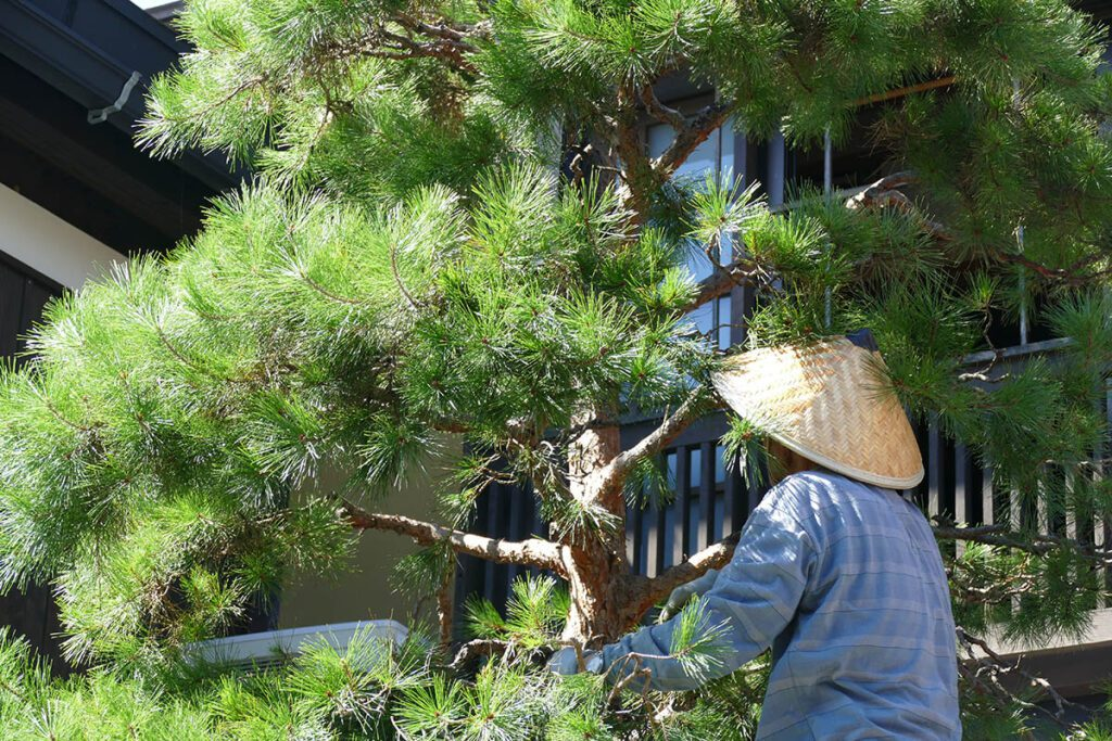Pruning trees: Sunday afternoon chores in TAKAYAMA on a travel back in time and a side trip to SHIRAKAWAGO